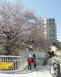 桜の前で写真を撮る通行人たち(3月18日撮影)