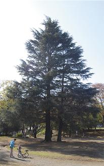 来月3日にイルミネーションで彩られる美しが丘公園のヒマラヤ杉