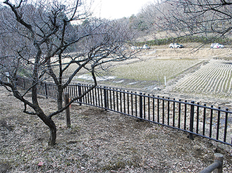 田んぼからの進入を防止する梅林の柵