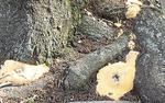 見つかった黄白色のベッコウタケ