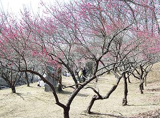 紅梅など約650本が咲く園内