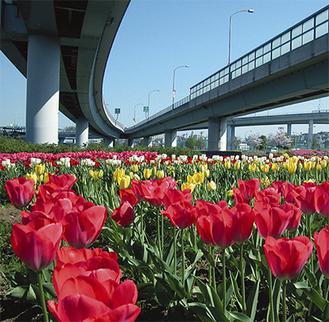 会場周辺に咲くチューリップの花(過去撮影)