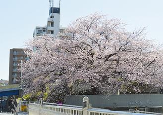 扇状に広がる枝に花が咲き乱れた=3月22日撮影