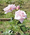 「カズエ」のバラ