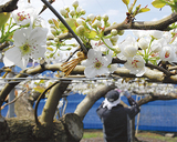 浜なしの白い花に花粉付けを行う土志田さん