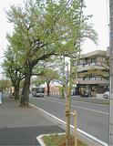 ソメイヨシノの老木(左奥)と新しく植えられた若木