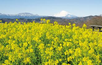 吾妻山山頂に咲く菜の花