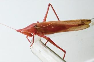 赤いクビキリギス