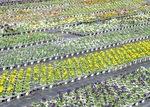 数万の花苗が並ぶ