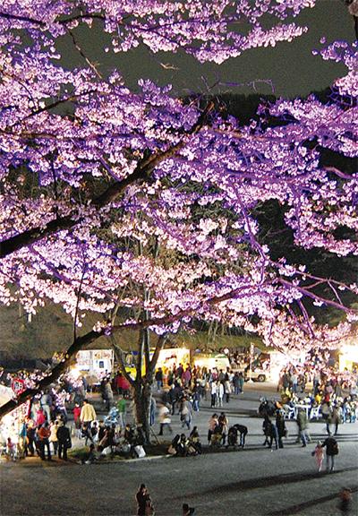 夜桜と四千本の竹灯篭