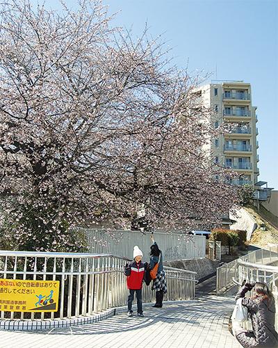 「桜の便り」一足早く
