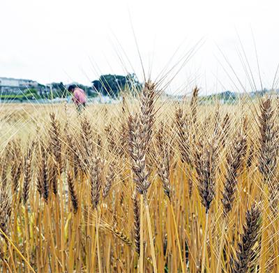 田奈小麦を収穫