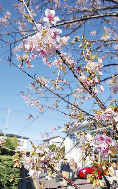 師走に桜咲く