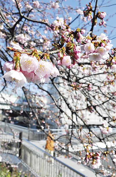 江田に桜の便り