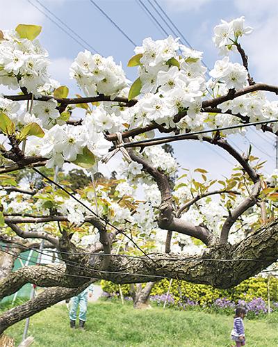梨花が満開に