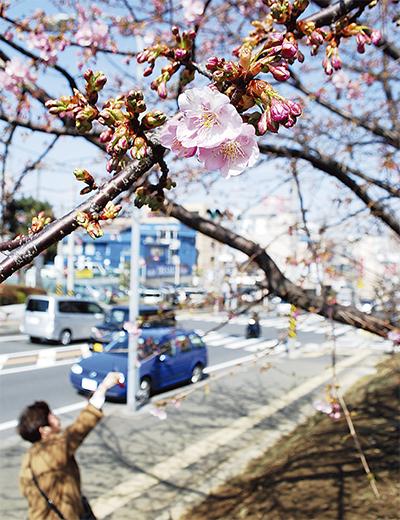桜の便り、あざみ野に