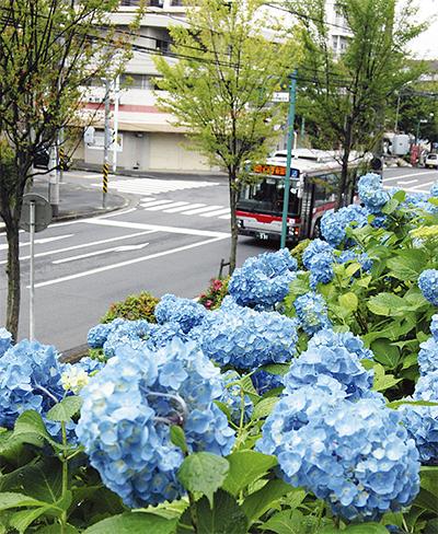 バス出迎える紫陽花