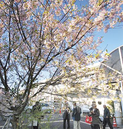 冬空に咲く異国の桜