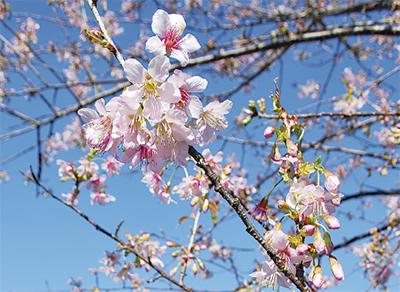 ヒマラヤ桜、開花間近