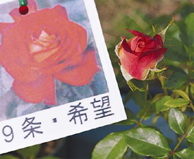 「9条バラ」を発表