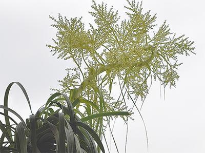 熱帯植物、青葉で開花
