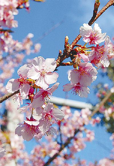 春告げる河津桜