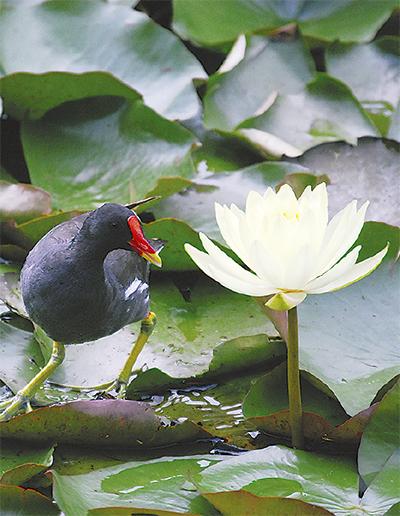 池彩るハスの花