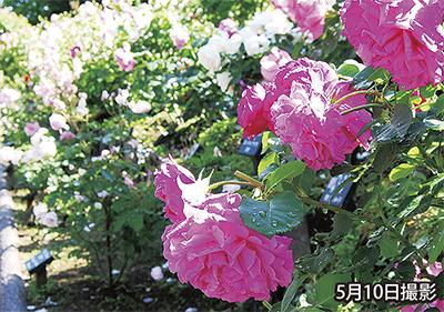 荏子田でバラの祭り