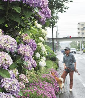 愛犬との散歩途中に足を止めアジサイを見入る地域住民(写真=11日撮影)