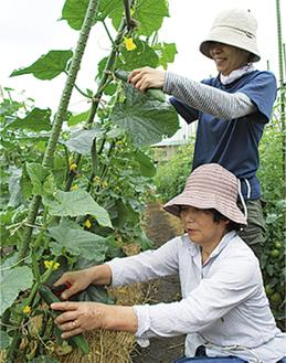 キュウリの収穫を進める同園会員