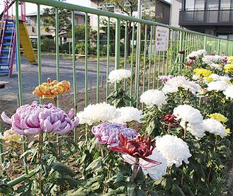 白や黄など8種の菊が楽しめる