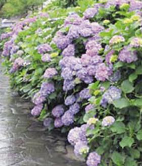 丹精込めて育てた紫陽花