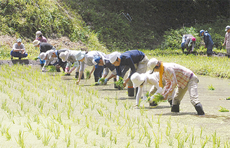 苗を手作業で植えていく参加者ら