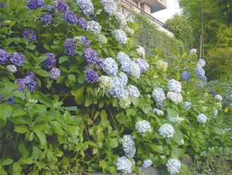 鮮やかに会場を彩った紫陽花