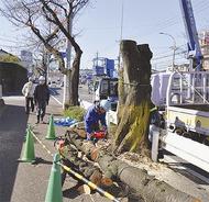 ソメイヨシノ伐採始まる