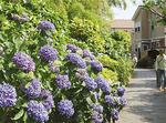 プロムナードに咲く紫陽花