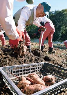 安納芋を収穫する菅原会長