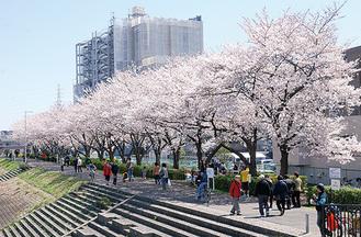 鶴見川沿いの桜