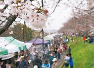 桜の下に多くの人
