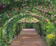 1800種のバラ見頃