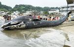 昨年8月に鎌倉の由比ガ浜に打ちあがったシロナガスクジラ