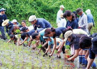 田んぼの中で一直線に並び、手足を泥だらけにしながら田植えを楽しむ親子ら