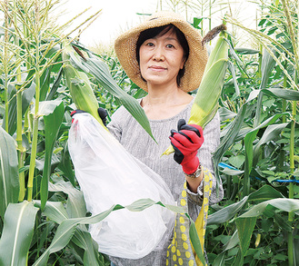 トウモロコシを収穫する参加者