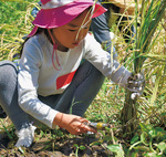 鎌で稲を刈る子ども