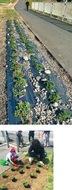 恩田川堤防に芝桜植栽