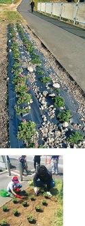 現在植えられている芝桜(上)と5月の植栽のようす(下)。写真は同会提供