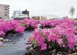 花を咲かせる芝桜(3月28日撮影)