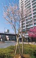 汽車ぽっぽ公園の桜咲く