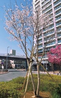 花を咲かせるソメイヨシノ(3月26日撮影)