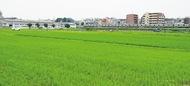田んぼが緑のじゅうたんに